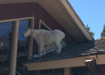 GNP Mountain Goat on Roof (1)